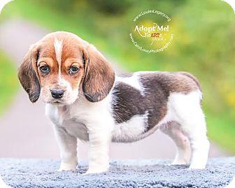 Basset Hound/Beagle Mix Puppy for adoption in Cincinnati, Ohio - Gigi