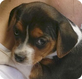 Beagle/Feist Mix Puppy for adoption in Preston, Connecticut - Bashfull AD 05-07-16