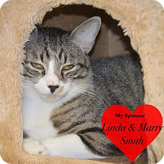 Domestic Shorthair Cat for adoption in San Leon, Texas - Clint