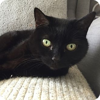 Domestic Shorthair Cat for adoption in Naperville, Illinois - Muse