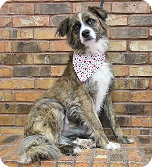 Australian Shepherd Mix Dog for adoption in Benbrook, Texas - Austin