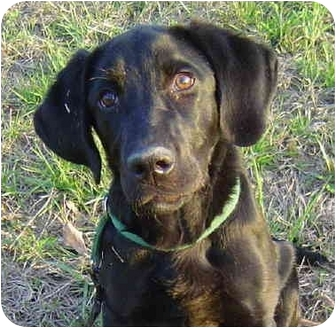 Labrador Retriever Dog for adoption in Montevallo, Alabama - Maxwell