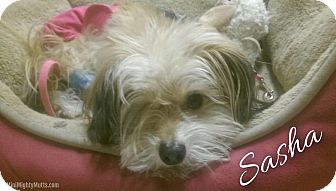 Poodle (Miniature)/Maltese Mix Dog for adoption in Phoenix, Arizona - Sasha