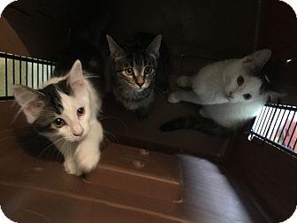 Domestic Shorthair Kitten for adoption in Warren, Michigan - Arya