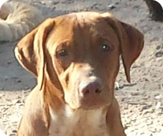 Black Mouth Cur/Labrador Retriever Mix Puppy for adoption in Preston, Connecticut - Sawyer AD 12-10-16