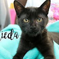 Domestic Mediumhair Kitten for adoption in Wichita Falls, Texas - Freida