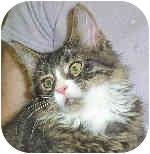 Domestic Longhair Cat for adoption in Murphysboro, Illinois - Miss Muffet