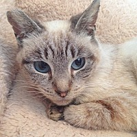Siamese Cat for adoption in San Leandro, California - Lady