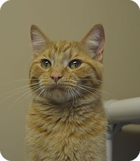 Domestic Shorthair Cat for adoption in Germantown, Tennessee - Rufio