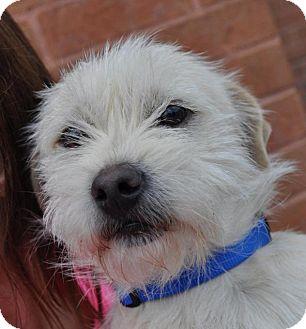 Westie, West Highland White Terrier/Terrier (Unknown Type, Small) Mix Dog for adoption in Atlanta, Georgia - Stephen