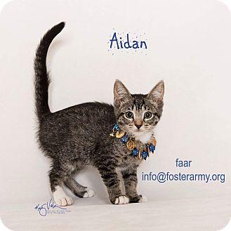 Domestic Shorthair Kitten for adoption in Riverside, California - Aidan
