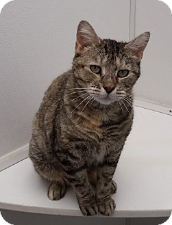 Domestic Shorthair Cat for adoption in Medfield, Massachusetts - Penny