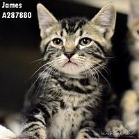 Adopt A Pet :: LINCOLN - Conroe, TX