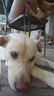 Labrador Retriever Mix Dog for adoption in Carmichael, California - armel