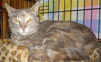 Bengal Cat for adoption in Dallas, Texas - Pastel