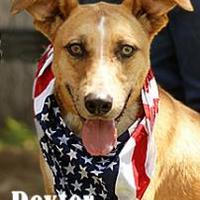Adopt A Pet :: Dexter - Wichita Falls, TX