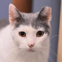 Domestic Shorthair/Domestic Shorthair Mix Cat for adoption in Dodgeville, Wisconsin - Esther