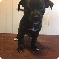 Adopt A Pet :: Nutmeg - Paprika Pup - Encino, CA