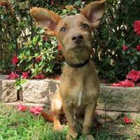 Adopt A Pet :: Snickers - Tyler, TX
