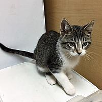 Adopt A Pet :: Miko - Warrenton, MO