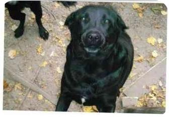 Labrador Retriever Mix Dog for adoption in Walterboro, South Carolina - Sherlock