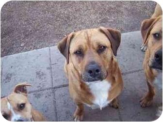 Australian Shepherd/Boston Terrier Mix Dog for adoption in Seneca, South Carolina - SULLY