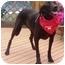 Photo 1 - Labrador Retriever Mix Dog for adoption in Osseo, Minnesota - Spanky