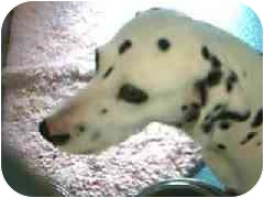 Dalmatian Dog for adoption in Hawthorne, California - Poppy