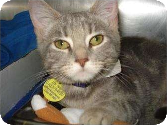 Domestic Shorthair Kitten for adoption in Springfield, Massachusetts - Autumn