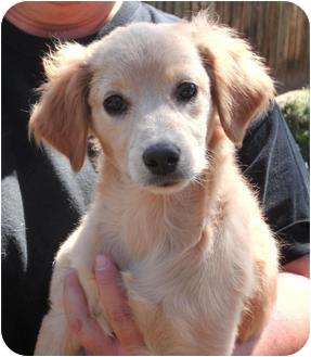 Golden Retriever Mix Puppy for adoption in Evergreen, Colorado - Jalapeno