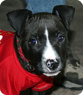 American Staffordshire Terrier/Bull Terrier Mix Puppy for adoption in North Olmsted, Ohio - Alton