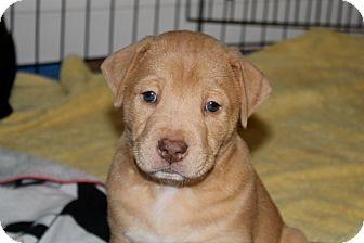 Labrador Retriever/Bulldog Mix Puppy for adoption in Huntsville, Alabama - Julius