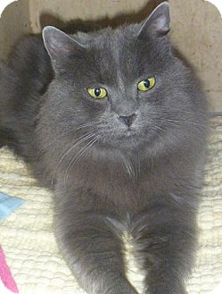 Domestic Longhair Cat for adoption in Hamburg, New York - Lily Mae
