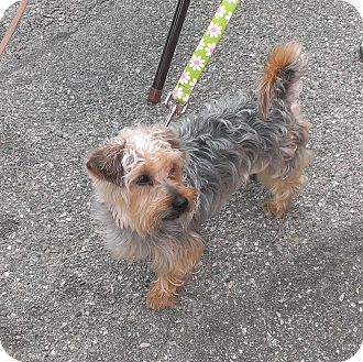 Yorkie, Yorkshire Terrier Mix Dog for adoption in Santa Monica, California - Precious