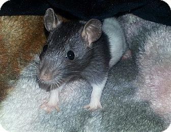 Rat for adoption in Lakewood, Washington - 2 Hooded, 2 Black (Females)