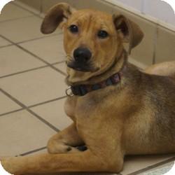 Shepherd (Unknown Type) Mix Puppy for adoption in Eatontown, New Jersey - Koala Bear