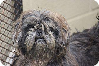 Shih Tzu Dog for adoption in Coventry, Rhode Island - Ratio