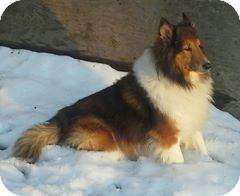 Sheltie, Shetland Sheepdog Dog for adoption in COLUMBUS, Ohio - Coz