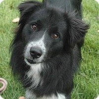 Adopt A Pet :: Ash - Denver, CO