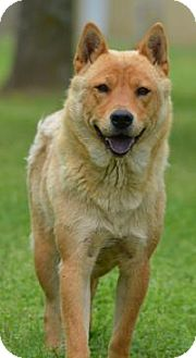 Chow Chow Mix Dog for adoption in Jacksonville, Arkansas - Moxie