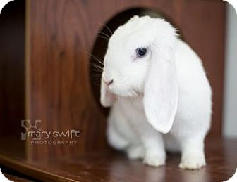 Mini Lop for adoption in Reisterstown, Maryland - Sugar