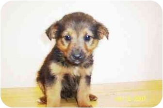 Terrier (Unknown Type, Small) Mix Puppy for adoption in Windham, New Hampshire - Lil' Bit