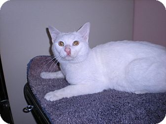 Domestic Shorthair Cat for adoption in New Castle, Pennsylvania - Stephan