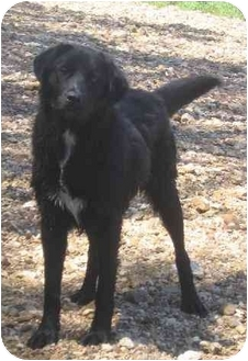 Labrador Retriever Mix Dog for adoption in Piedmont, Missouri - Chuck