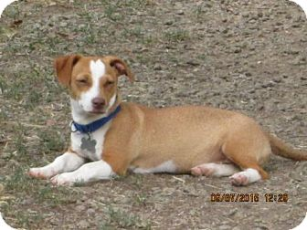Dachshund/Chihuahua Mix Dog for adoption in Williston Park, New York - Freddie
