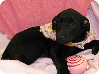Labrador Retriever Mix Puppy for adoption in Groton, Massachusetts - Reagan