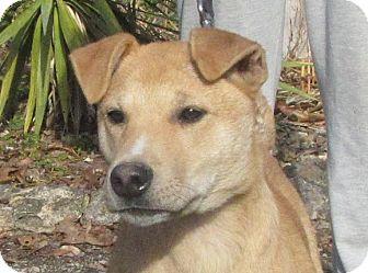 Labrador Retriever/Terrier (Unknown Type, Medium) Mix Puppy for adoption in Oakland, Arkansas - Apollo