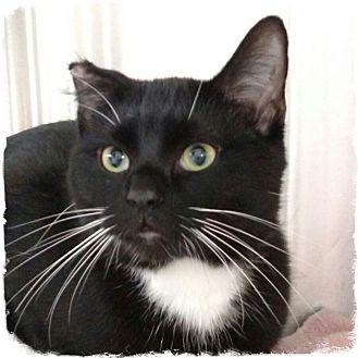 Domestic Shorthair Cat for adoption in Pueblo West, Colorado - Shamus
