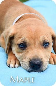 Labrador Retriever Mix Puppy for adoption in DFW, Texas - Maple