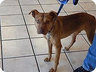 Pit Bull Terrier Dog for adoption in New Bern, North Carolina - Moses